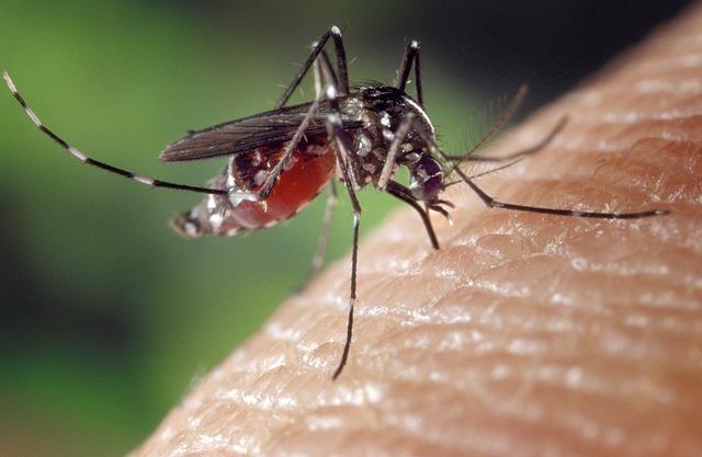 přisátý komár