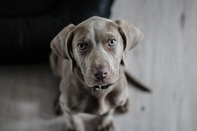 výmarský ohař štěně