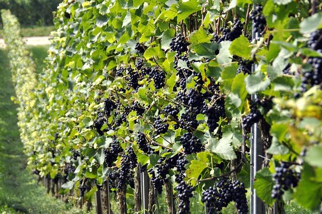dozrávající hrozny ve vinohradu